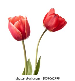 Pair of tulip flowers isolated on a white background