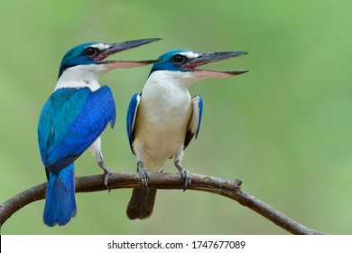 Pair of Turquoise blue birds open their beask and singing out lound while perching together during breeding season, beautiful nature