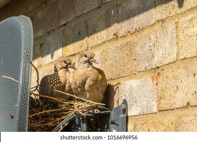 A pair of Turtle (Ring-necked) Dove fledglings look out from the seemingly well built nest, at the back of my satellite dish, and all without interruption to my picture or their wellbeing.