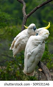 A pair of two Cockatoo clean each other on a tree branch in Jamison Valley rainforest near  Katoomba at the Blue Mountains of New South Wale, Australia.