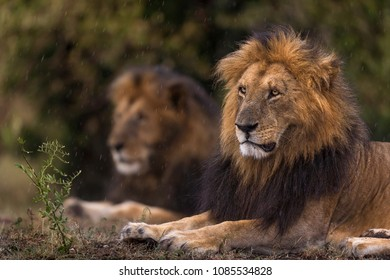 Pair of two Male Lions in Rain  Closeup of Two Male Lions in Rain shot at Masai Mara.