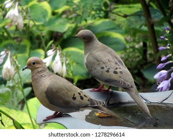 a pair of two turtle doves or mourning doves perched on the edge of a birdbath in a backyard garden in summer