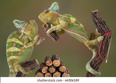 A pair of veiled chameleons are working together to cut some firewood.