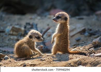 Pair of very young suricate pups standing on the sand (Suricata suricatta)
