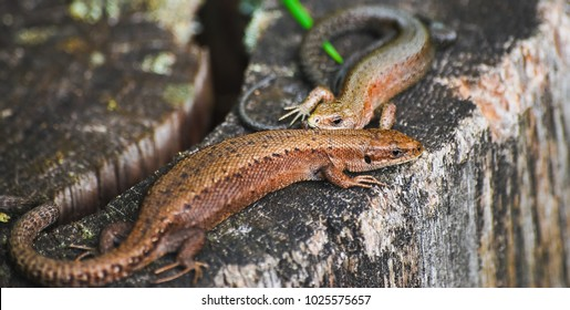 A pair of viviparous lizard or common lizard (Zootoca vivipara) on a tree stump