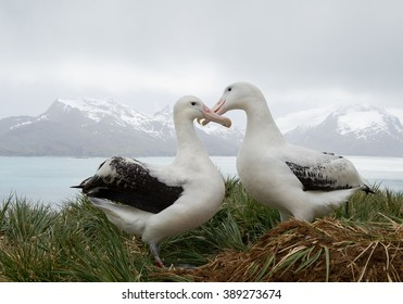 Pair of wandering albatrosses on the nest, socializing, with snowy mountains and light blue ocean in the background, South Georgia Island, Antarctica