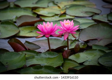 Pair of water lilies bloom at Kenilworth Aquatic Gardens in Washington, DC. Ltus and water lilies peak in June and July.