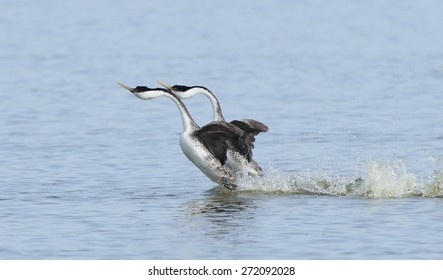 A pair of western grebes perform their courtship display as they rush upright along the water.