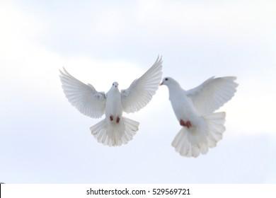 pair of white doves flying in the winter sky,love, hope, beauty, good news