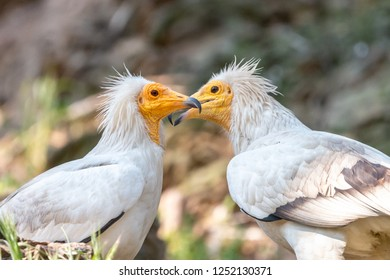 Pair of white Egyptian vultures. White scavenger vulture or pharaoh's chicken (Neophron percnopterus) has white plumage, hackle from neck feathers, and yellow unfeathered face with hooked beak.