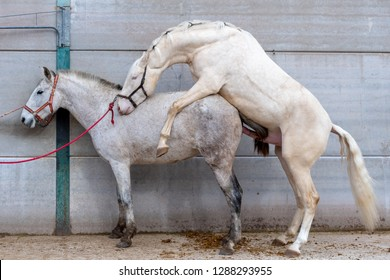 pair of white mating horses