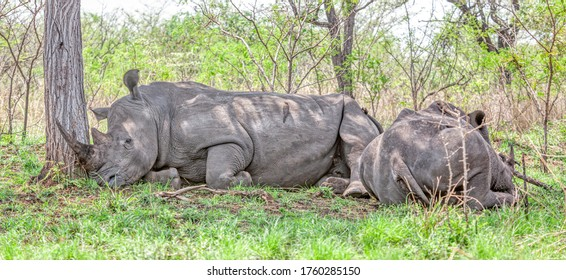 A pair of white rhinos (Ceratotherium simum) resting in the Kruger National Park, South Africa.