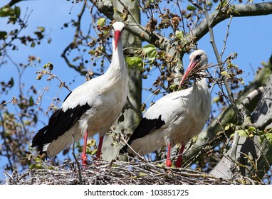 Pair of White Sorks on a tree top nest, one with a beak full of twigs - bonding behaviour