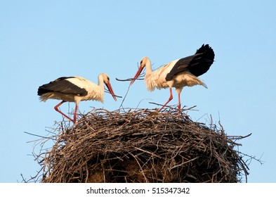 A pair of white storks build nest for future chicks