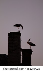 Pair of White Storks in the evening