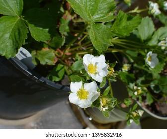 Pair of White Strawberry Flowers