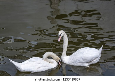 A pair of white swans on the black surface of the river give each other an oath of loyalty, an oath of eternal love. Graceful dance of beautiful birds.