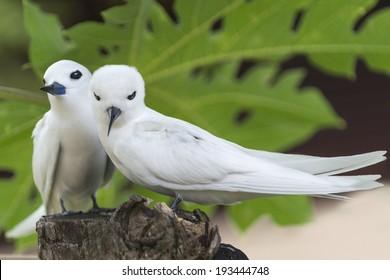 Pair of White Terns(Gygis alba), Bird Island, Seychelles