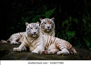 A pair of white tiger resting side by side. White tiger or bleached tiger is a pigmentation variant of the Bengal tiger, which is reported in the wild from time to time in the Indian states.