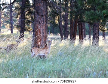 A Pair of Whitetail Deer Fawns in Custer State Park