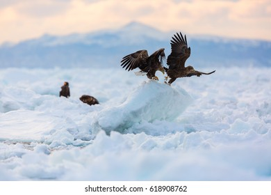 Pair of White-tailed eagle on frozen ocean, Japan.