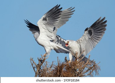 A pair of white-tailed kite having an argument..