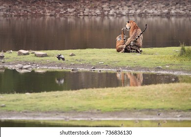 Pair of wild Bengal tigers, Panthera tigris on the shore of the lake in mating period. Mating tigers. Ranthambore National Park, Rajasthan, India.