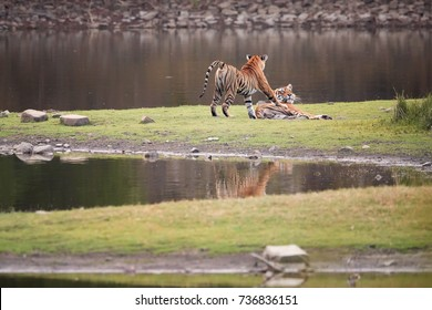 Pair of wild Bengal tigers, Panthera tigris on the shore of the lake in mating period. Mating tigers. Tigress trying to attract her mate.  Ranthambore National Park, Rajasthan, India.