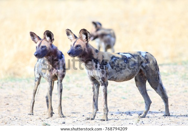 Pair of wild dogs surveying the african bush looking alert  There is visible blood around their mouths, after feeding on a recent kill. South Luangwa National Park, Zambia, Southern Africa