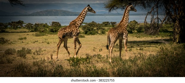 A pair of wild giraffes in Kenya.  Heavy use of filters and post crop vignetting make the image contemporary and dramatic.