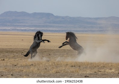 Pair of Wild Horse Stallions Fighting in the Utah Desert