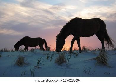 A pair of wild horses feeding on dune grass at sunset, on Assategue Island, Maryland.