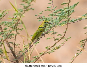 Pair of wild Little Green Bee-eater birds merops orientalis perched on a branch in bush