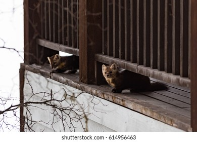 Pair of Wild Pine Martens on a cabin patio, Yoho National Park Canada
