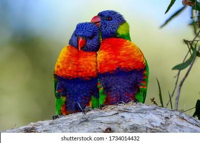 A pair of wild rainbow lorikeet parrots in Australia