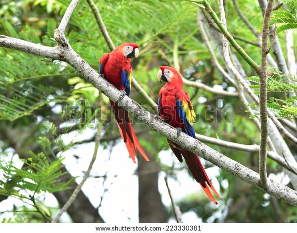 pair of wild scarlet macaws on tree, carate, corcovado national park, puntarenas, costa rica, central america near panama