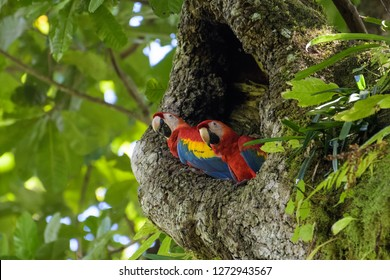 A pair of wild scarlet macaws in their nest in a cashew tree in Carara National Park