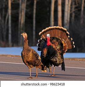 Pair of wild turkeys crossing country road, with male turkey displaying mating plumage