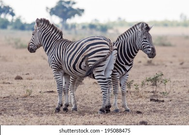 A pair of Wild Zebras stand head to toe on an open patch of land in the Kruger National Park