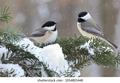 A pair of winter Black- capped Chickadees (Poecile atricapillus) on a snowy spruce branch.