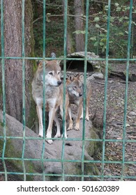 Pair wolves behind the fence, Caucasus Nature Reserve