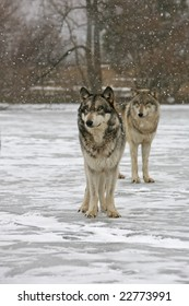Pair of wolves in snow