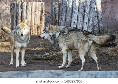 A pair of wolves in the zoo