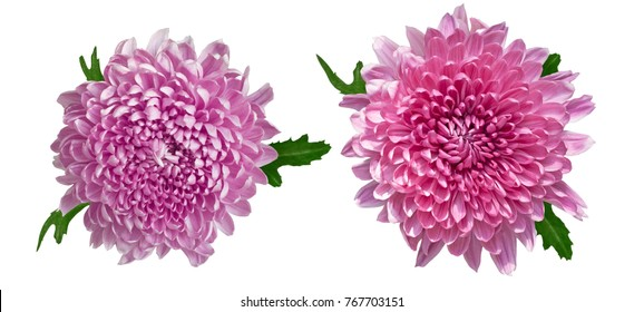 Pair of wonderful pink chrysanthemums isolated on a white background