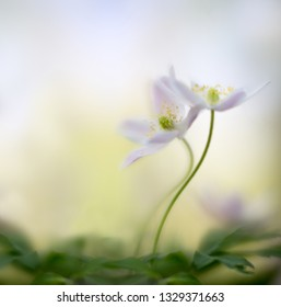 A pair of wood anemones entangled in love embrace. White pink wild flower macro in soft focus. Flower close up with two wildflowers.