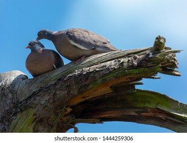 A pair of Wood Pigeon preening each other in courtship.