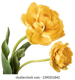 Pair of yellow full Parrot tulips isolated on white background