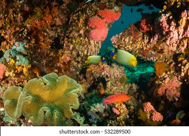 A pair of yellow mask angelfish surrounded by corals