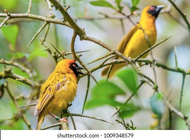 A pair of yellow Weavers