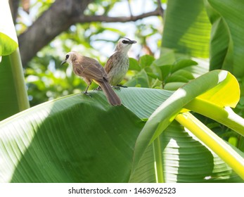 Pair Yellow-vented Bulbul (Pycnonotus goiavier) or eastern yellow-vented bulbul close up on green background, member of bulbul family of passerine birds, resident breeder in southeastern Asia